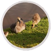 Round Beach Towel featuring the photograph Goslings Basking In The Sunset by Chris Flees