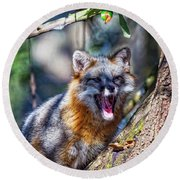 Gray Fox Awakens In The Tree Round Beach Towel
