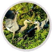 Great Blue Herons Battle Round Beach Towel
