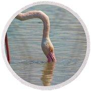Greater Flamingo In Parc De Camargue, France Round Beach Towel