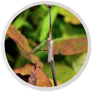 Round Beach Towel featuring the photograph Green Conehead Cricket Holding Twig by Scott Lyons