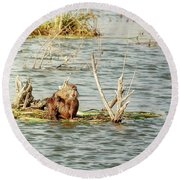 Round Beach Towel featuring the photograph Grinning Nutria On Reeds by Robert Frederick
