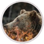 Grizzly Bear Portrait In Fall Round Beach Towel