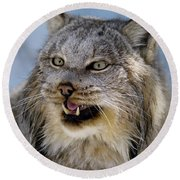 Growling Face Of Female Canada Lynx In The Shade Of A Winter For Round Beach Towel