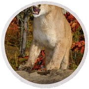 Hissing Cougar Standing On A Rock In An Open Fall Forest Round Beach Towel
