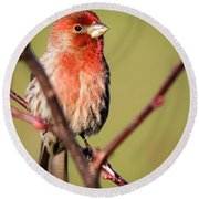Round Beach Towel featuring the photograph House Finch In Full Color by Ricky L Jones