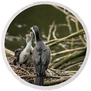 Hungry Pied Shag Chicks Round Beach Towel