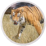 Round Beach Towel featuring the painting Hungry Tiger by Judy Kay
