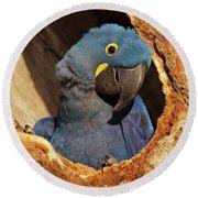 Hyacinth Macaw In Porto Jofre Round Beach Towel