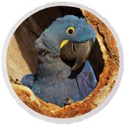 Hyacinth Macaw In Porto Jofre Round Beach Towel