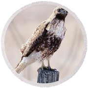 Immature Red Tailed Hawk Round Beach Towel