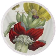 Inflorescence Of Banana, 1705 Round Beach Towel by Maria Sibylla Graff Merian