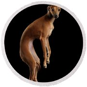 Italian Greyhound Dog Jumping, Hangs In Air, Looking Camera Isolated Round Beach Towel