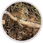 Jaguar In Repose Round Beach Towel by Wade Aiken