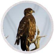 Juvenile Bald Eagle 1 Round Beach Towel