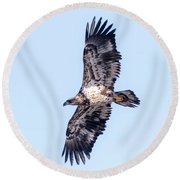 Juvenile Bald Eagle 2017 Round Beach Towel