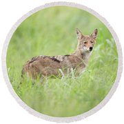 Juvenile Coyote Round Beach Towel