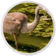 Juvenile Great Blue Heron Round Beach Towel