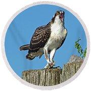 Juvenile Osprey#1 Round Beach Towel