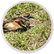 Killdeer Doing Broken Wing Display Round Beach Towel