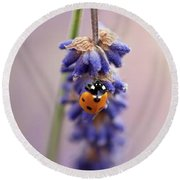 Ladybird On Norfolk Lavender  #norfolk Round Beach Towel