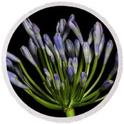 Lily Of The Nile, Agapanthus Round Beach Towel