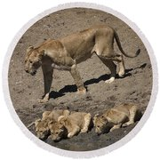 Lion Cubs And Mom Get A Drink Round Beach Towel by Darcy Michaelchuk