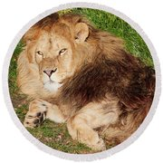 Round Beach Towel featuring the photograph Lion Resting In The Sun by Nick Biemans