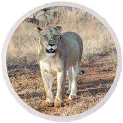 Lioness In Kruger Round Beach Towel