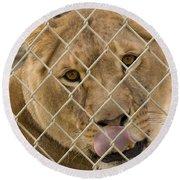 Lioness Licks Round Beach Towel