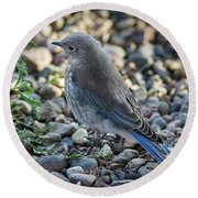 Little Fledgling Mountain Bluebird Round Beach Towel