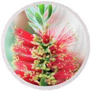 Little John Dwarf Bottlebrush Bloom Round Beach Towel