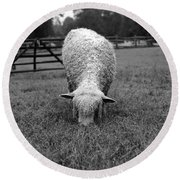 Longwool Sheep Grazing Round Beach Towel