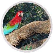 Macaw Resting Round Beach Towel