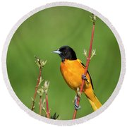 Male Baltimore Oriole Posing Round Beach Towel
