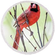 Male Cardinal Perched On Budding Stem Round Beach Towel