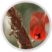Round Beach Towel featuring the photograph Male Cardinal Take Off by Darren Fisher