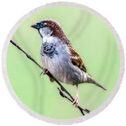 Male House Sparrow Profile Round Beach Towel