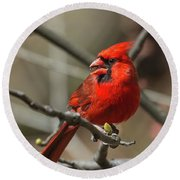 Male Northern Cardinal In Spring Round Beach Towel