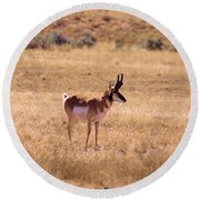 Male Pronghorn Round Beach Towel