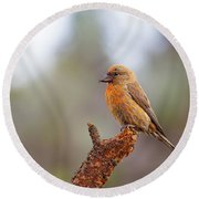 Male Red Crossbill Round Beach Towel