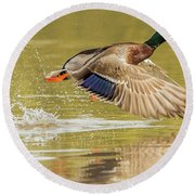Mallard Duck 1952-112017-2cr Round Beach Towel