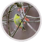 Round Beach Towel featuring the photograph Molting Gold Finch by Bill Wakeley