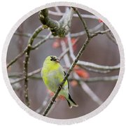 Round Beach Towel featuring the photograph Molting Gold Finch Square by Bill Wakeley