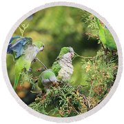 Round Beach Towel featuring the photograph Monk Parakeets Feeding On Evergreens 2 by William Selander