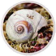 Moon Snail Shell On Kelp Bed Round Beach Towel by Peggy Collins