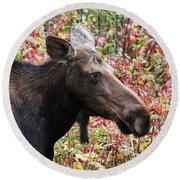 Moose And Fall Leaves Round Beach Towel by Peggy Collins
