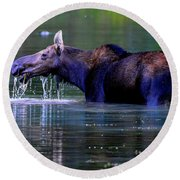 Moose In Swiftcurrent Lake, Glacier National Park Round Beach Towel