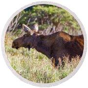 Moose In Waiting Round Beach Towel