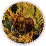 Morning Moose Round Beach Towel by Steven Parker
